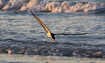 Evening Black Skimmer