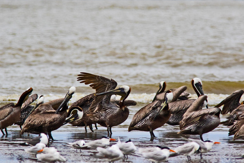 Grooming and Chillin'- Brown Pelicans with Terns