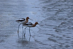 Trepidation-American Avocets
