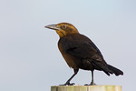 Female Great Tailed Grackle