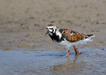 Ruddy Turnstone -Breeds in the Arctic, Alaska, Canadian Arctic!