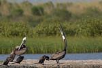 Brown Pelicans and Cormorants