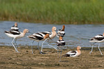 American Avocets -Walking Over To Join The Crowd