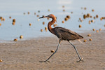 On A Mission -Reddish Egret At East Beach
