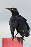 Molting Great Tailed Grackle