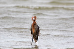 We've All Been There!- Reddish Egret