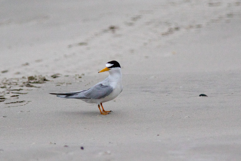 The Endangered Least Tern