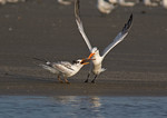 Royal Tern Delivering Fish to Juvenile