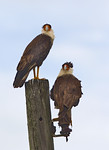 Two Sub-Adult, Two Year Old Crested Caracaras