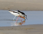 American Avocet and Black Necked Stilt