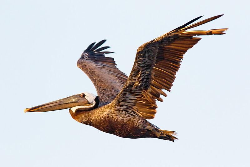Brown Pelican East Beach