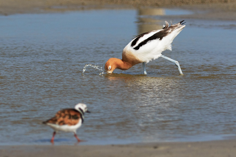 Kildeer and American Avocet