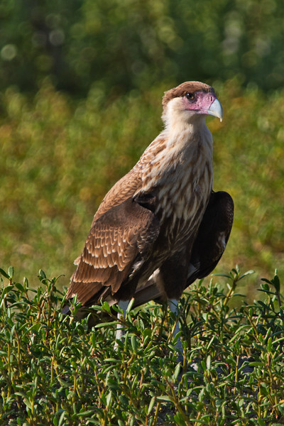 Juvenile Crested Caracara, The first Sibling