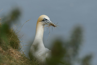 Gannet with nest  material