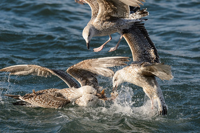 juvenile gulls fighting over fish