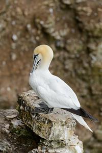 Gannet  preening