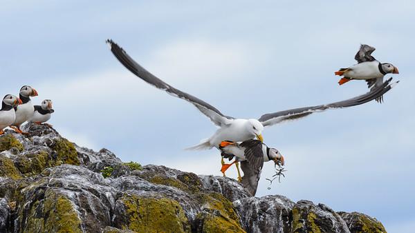 Gull attack