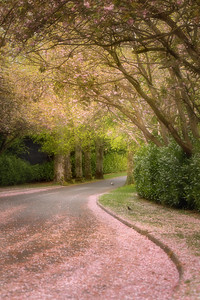 Cherry Blossom Avenue ( Boyne valley Hotel, Stameen )-1L8A1076