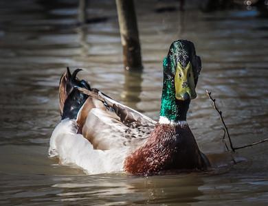 Ducks 4-26-13-2