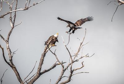 Eagle (21)