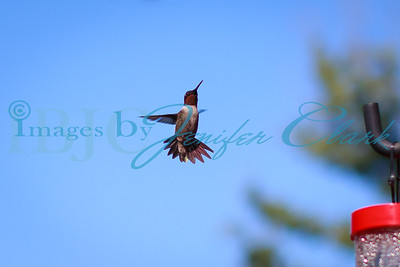 090912-Hummingbirds-8505