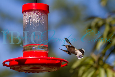 090912-Hummingbirds-2739