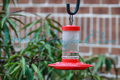 090812-Hummingbirds-2665