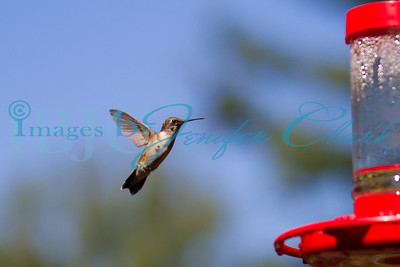 090912-Hummingbirds-2736