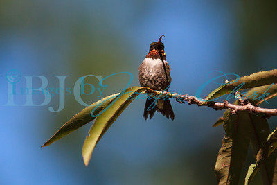 090912-Hummingbirds-2729
