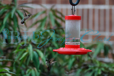 090812-Hummingbirds-2668