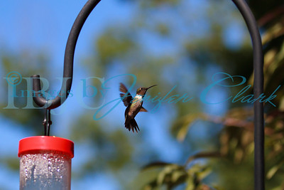 090912-Hummingbirds-2750