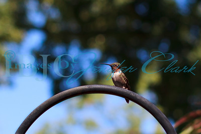 090912-Hummingbirds-8484