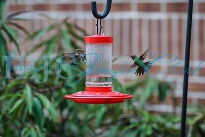 090812-Hummingbirds-2663