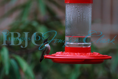 090812-Hummingbirds-2652