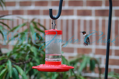 090812-Hummingbirds-2660