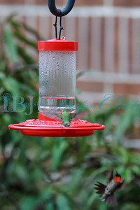 090812-Hummingbirds-2662