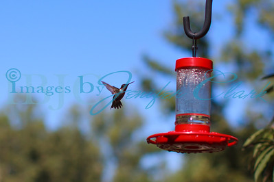 090912-Hummingbirds-8506