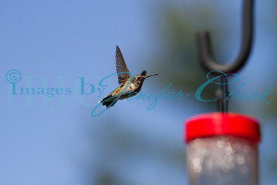 090912-Hummingbirds-2733