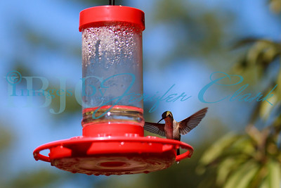 090912-Hummingbirds-2743