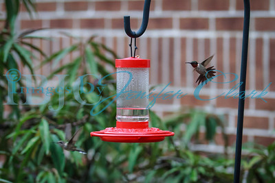 090812-Hummingbirds-2659