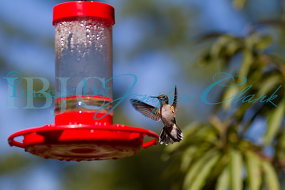090912-Hummingbirds-2738