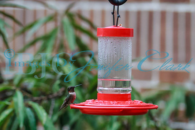 090812-Hummingbirds-2666