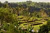 Terraced rice field, Bali