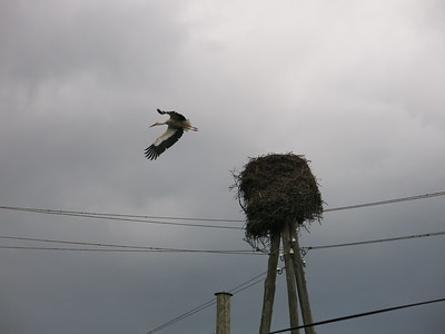 A stork leaving its nest