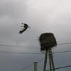 A stork leaving its nest