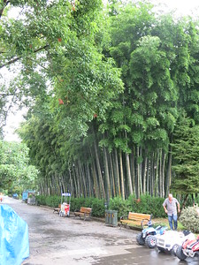Bamboo trees in Batumi