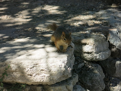 Troyan squirrel