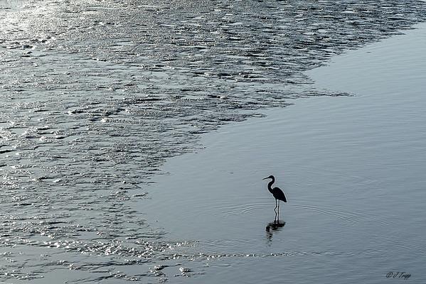 Great Egret on Cedar Key FL