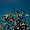 Blue-eared Starlings