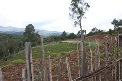 A Shamba (farm) in Njabini, Kenya